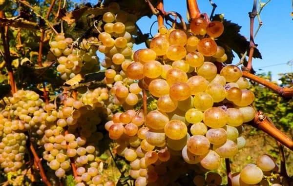 Ркацители сорт винограда