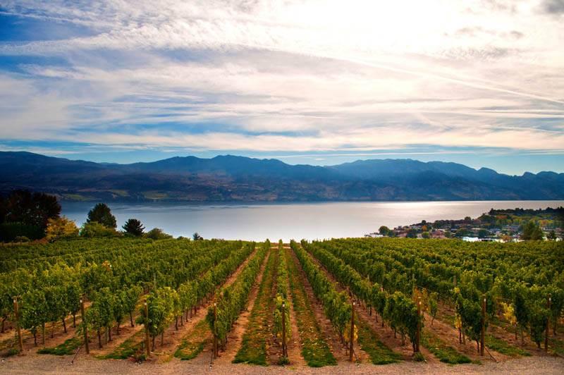 Нескончаемые виноградники