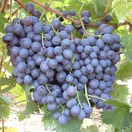 Какие столовые сорта винограда подходят для вина