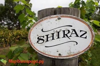 Шираз виноград характеристика