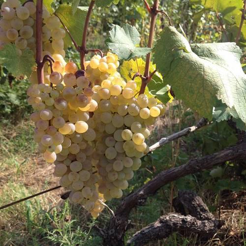 Ркацители виноград