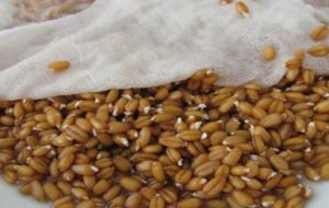 Проращивание пшеницы для браги