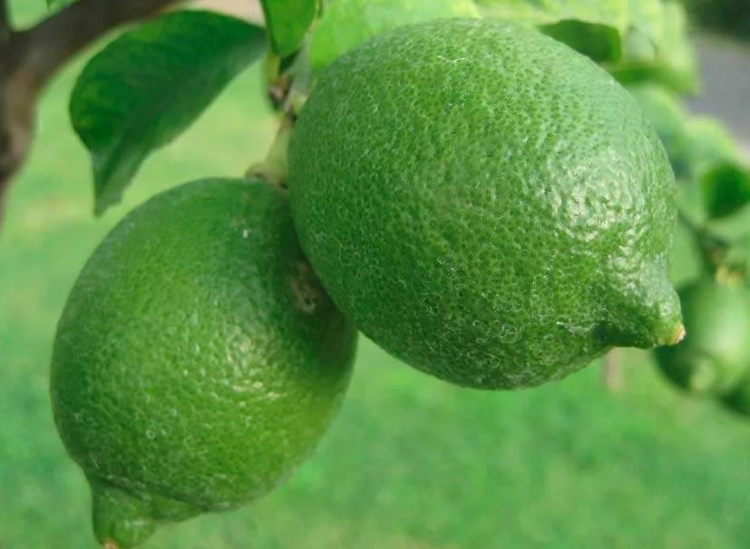 Ликер лимончелло рецепт
