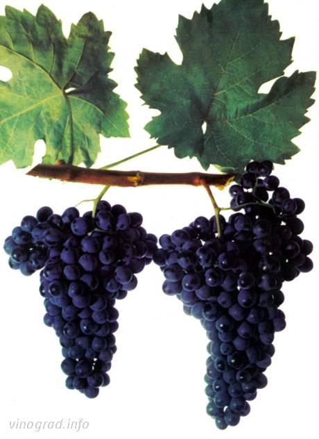 Технология красного столового вина бастардо