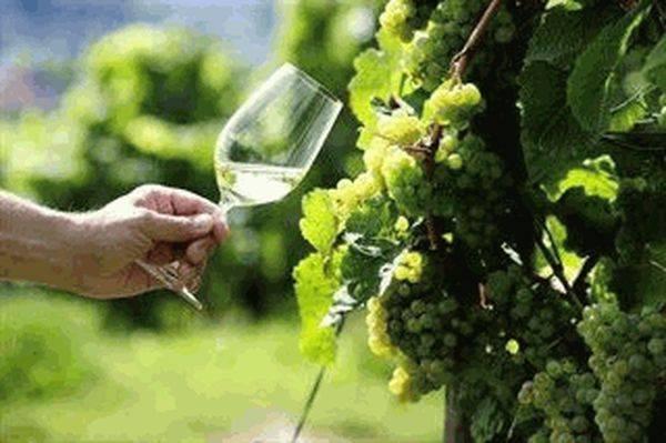 Что такое виноматериал столовый