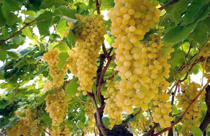 Ркацители вино белое сухое